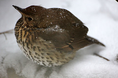 Song Thrush and Perfect Snowflakes