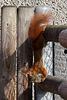 Steil abwärts - Emsiges Eichhörnchen III (Wilhelma)