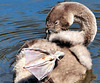 Young swan (cygnet).