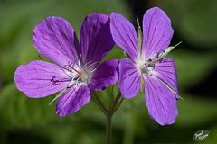 215/366: A Pair of Purple Princesses