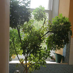 My plant in the bathroom is getting rather large
