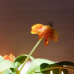 dutch tulip. today in poor condition