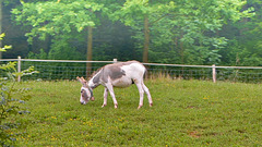 Donkey with a bell around his neck