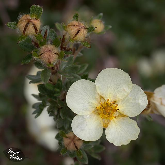 356/366: Strawberry Blossom