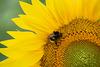 Pollenspender