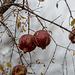 20141202 5899VRAw [TR] Granatapfel (Punica granatum), Aphrodisias