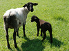 """(3) """"Na endlich bist du wieder da, du...du Schaf!"""""""