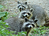 The Three Raccoon On A Hot Afternoon © All Rights Reserved