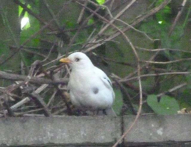 oaw - leucistic blackbird