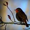 Petit Robin du matin...vous salue bien