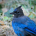 Steller jay on the ground