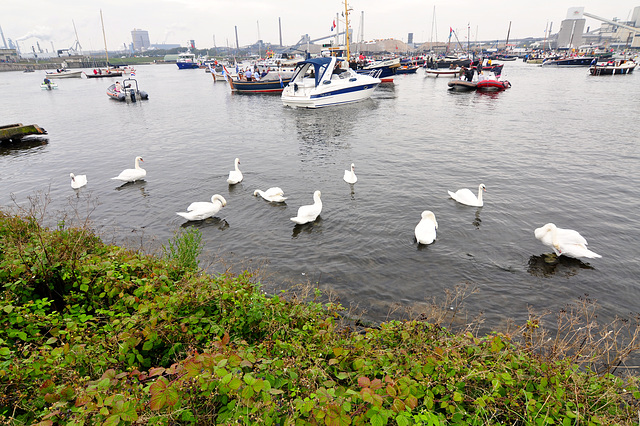 Sail 2015 – Swans welcoming the tall ships
