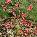 Zierquitte - rot und grün - cidoniarbo - ruĝa kaj verda