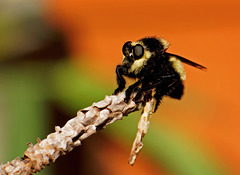 Robber fly.  7227213