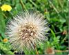 Dandelion Seed Head,