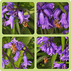 Bluebells and Bees