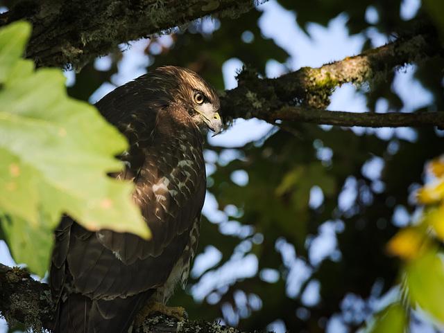 Hawk in dappled light