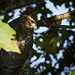 Hawk in dappled light