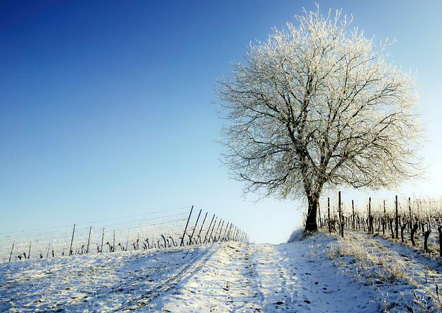 Solitär im Winter - Lonely tree in a vineyard