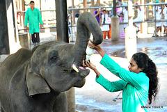 IMG 1882 PINNAWELA  Orphan Elephants  home /  Orphelinat des éléphants