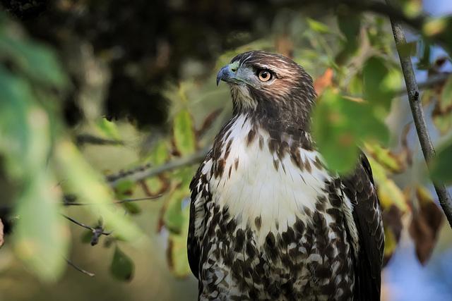 Hawk in the shade