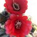 Cactus Flowers (0794)