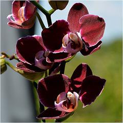 Orchidée Pourpre ... pour Marie !!!