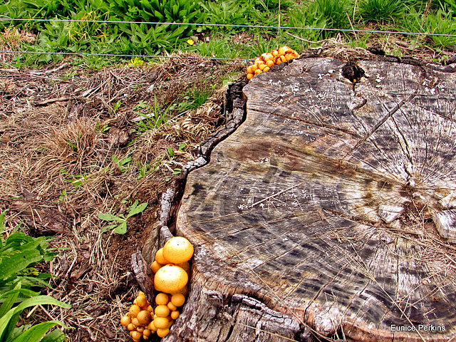 Fungi On Stump.
