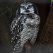 20190907 5972CPw [D~HRO] Sperbereule (Surnia ulula), Zoo, Rostock