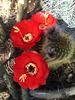 Cactus Flowers (0798)