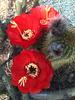 Cactus Flowers (0801)