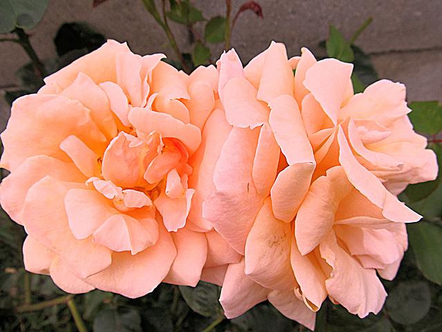 Margaret's rose