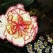 fiery carnation