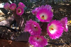 Cactus Flowers (0802)