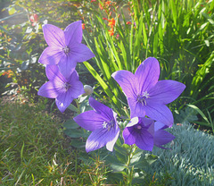 Blaue Blüten - bluaj floroj