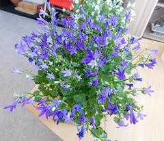 Plante à fleurs bleues...