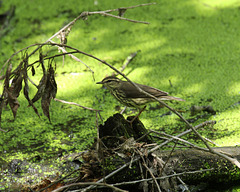 paruline des ruisseaux / northern waterthrush