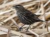 Female Red-winged Blackbird / Agelaius phoeniceus