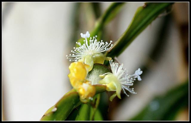 Lepismium - Rhypsalis  elliptica