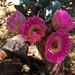 Cactus Flowers (0803)