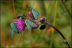 Metaalvlinders/Metalbutterfly