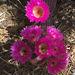 Cactus Flowers (0804)