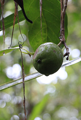 Cannonball Mangrove Fruit