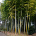 Tokyo, Bamboo Grove in the Garden of the Imperial Palace
