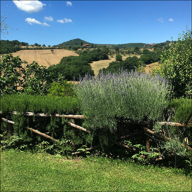 Lavender and rosemary hedge.