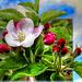 Apfelblüten in Südtirol... ©UdoSm