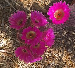 Cactus Flowers (0805)