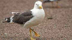 Marching Gull