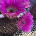 Cactus Flowers (0807)