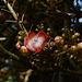 Uganda, Entebbe Botanical Garden, Flower of Cannonball Tree